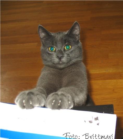 söka stamtavla på katt
